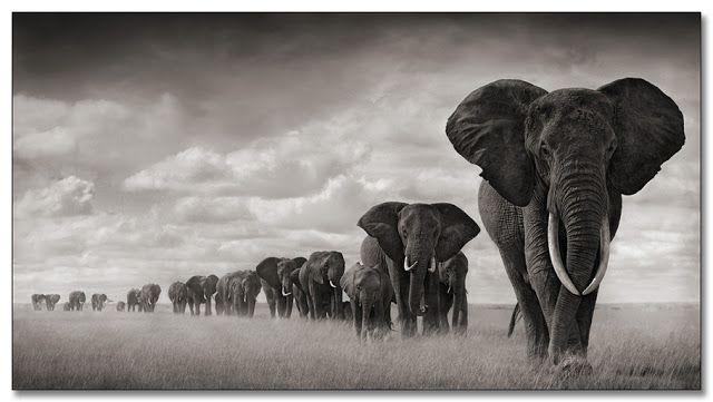 06792587caab64b27d3192629bb01dc7--african-elephant-african-animals
